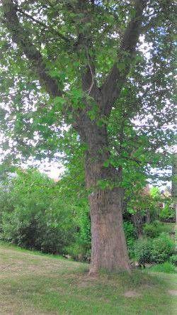 Ahorn-Baum